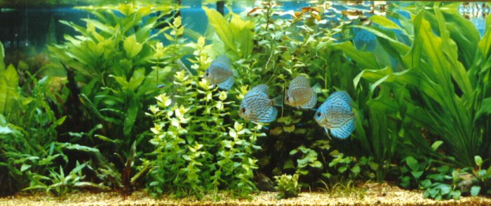 The Planted Discus Aquarium